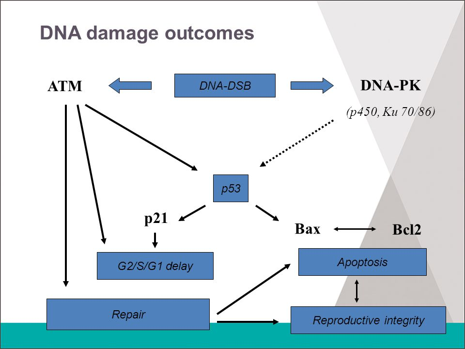 DNA damage outcomes DNA-DSB ATM DNA-PK (p450, Ku 70/86) p53 Bax Bcl2 Apoptosis p21 G2/S/G1 delay Repair Reproductive integrity
