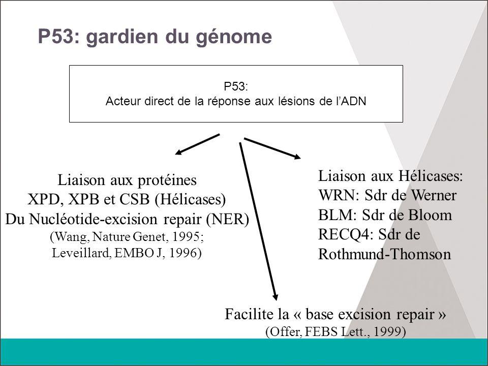 P53: gardien du génome P53: Acteur direct de la réponse aux lésions de l'ADN Liaison aux protéines XPD, XPB et CSB (Hélicases) Du Nucléotide-excision