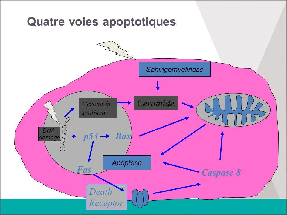 Quatre voies apoptotiques DNA damage Ceramide synthase Ceramide Sphingomyelinase p53Bax Fas Death Receptor Caspase 8 Apoptose