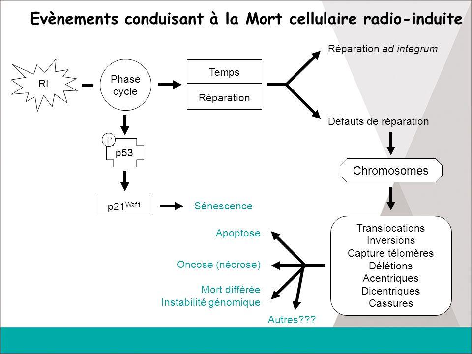 Apoptose radio-induite  Survient classiquement dans les 48 hr suivant RT  avant la mitose  mort en interphase (Stephens, Rad Res, 1991)  déclenchée par les DSB (Story, IJRB, 1994)