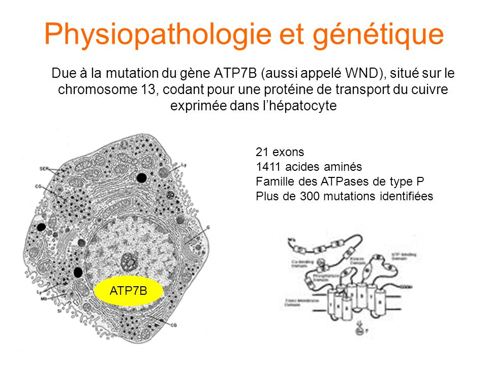Physiopathologie et génétique Due à la mutation du gène ATP7B (aussi appelé WND), situé sur le chromosome 13, codant pour une protéine de transport du