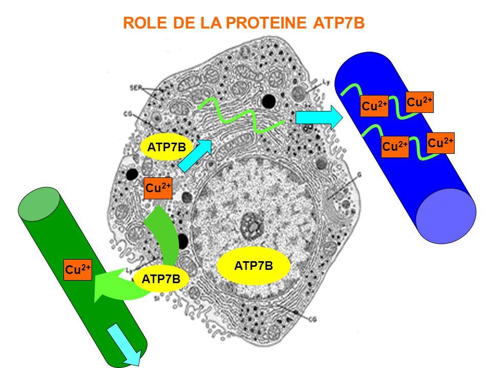 ATP7B Cu 2+ ATP7B Cu 2+ ATP7B Cu 2+ ROLE DE LA PROTEINE ATP7B