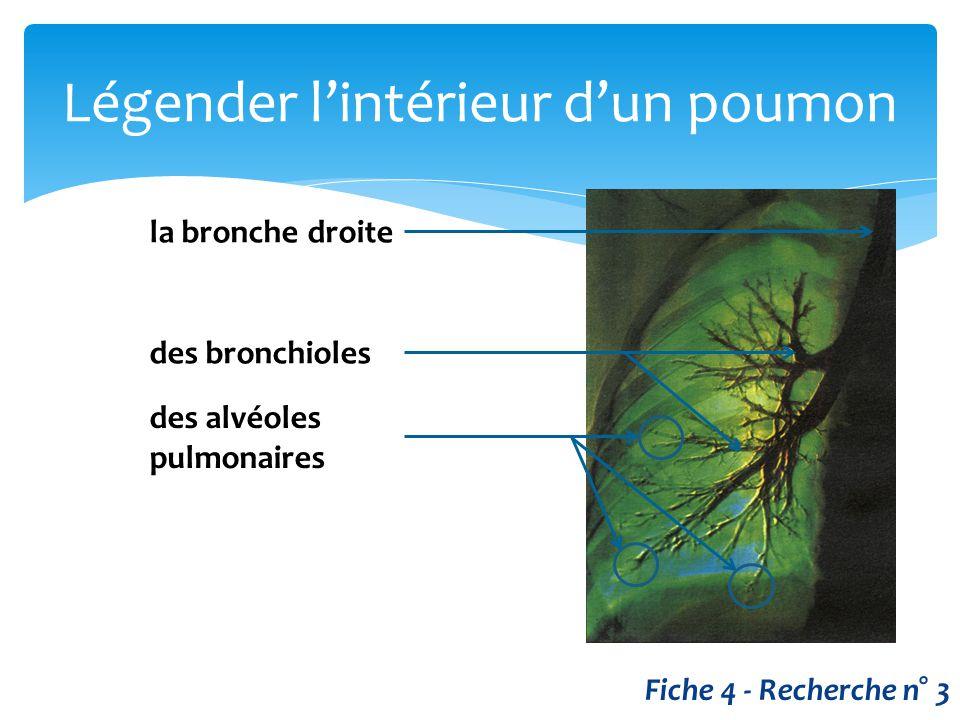 Légender l'intérieur d'un poumon Fiche 4 - Recherche n° 3 la bronche droite des bronchioles des alvéoles pulmonaires