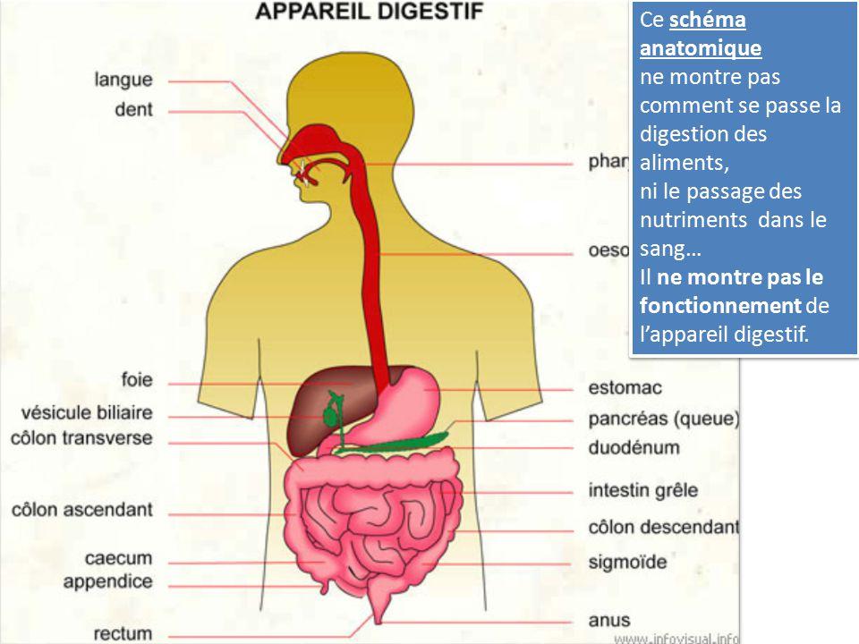 Ce schéma anatomique ne montre pas comment se passe la digestion des aliments, ni le passage des nutriments dans le sang… Il ne montre pas le fonction