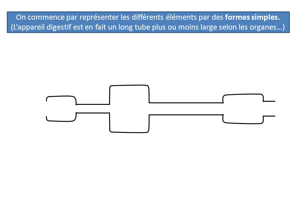 On commence par représenter les différents éléments par des formes simples. (L'appareil digestif est en fait un long tube plus ou moins large selon le