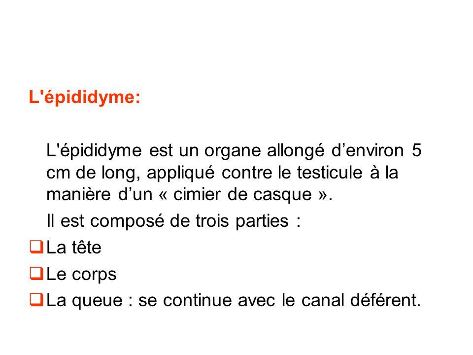 L épididyme: L épididyme est un organe allongé d'environ 5 cm de long, appliqué contre le testicule à la manière d'un « cimier de casque ».