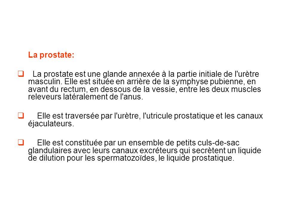 La prostate:  La prostate est une glande annexée à la partie initiale de l urètre masculin.