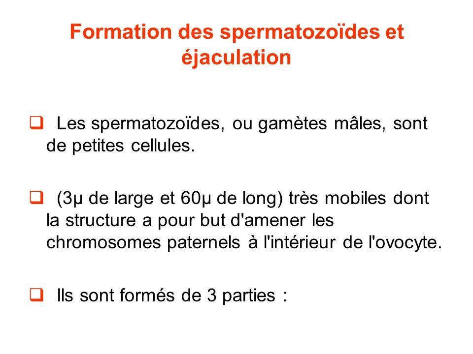 Formation des spermatozoïdes et éjaculation  Les spermatozoïdes, ou gamètes mâles, sont de petites cellules.