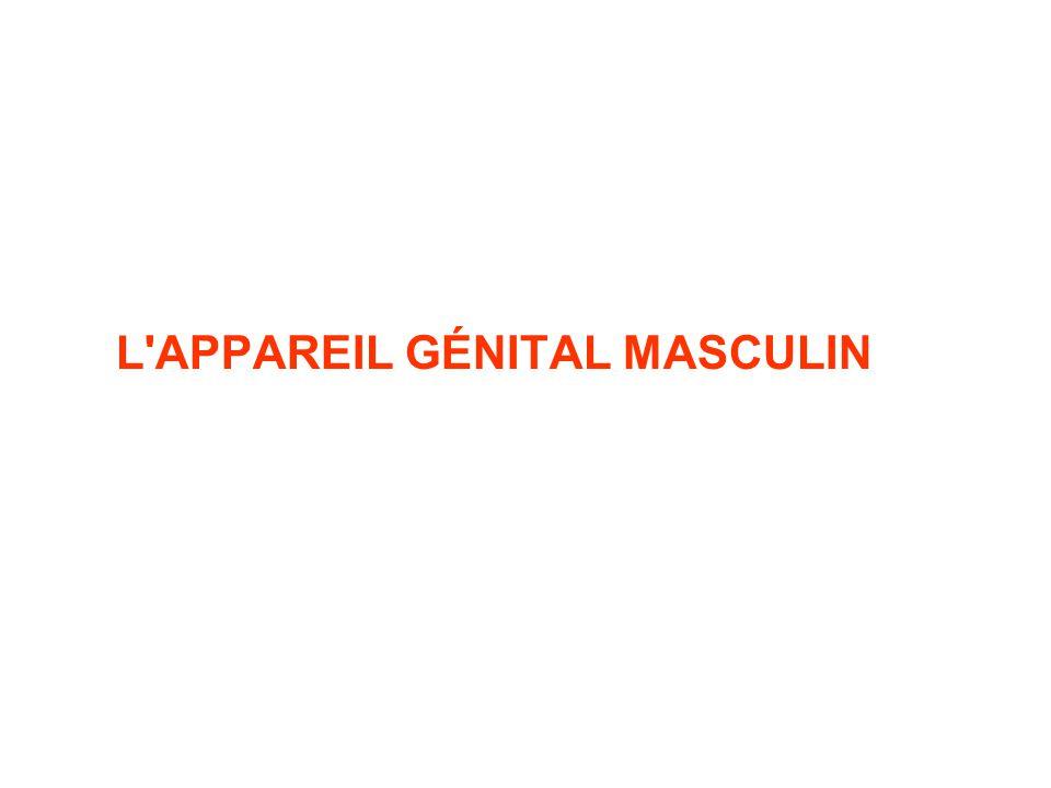 L APPAREIL GÉNITAL MASCULIN
