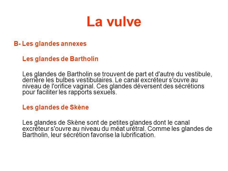 La vulve B- Les glandes annexes Les glandes de Bartholin Les glandes de Bartholin se trouvent de part et d autre du vestibule, derrière les bulbes vestibulaires.
