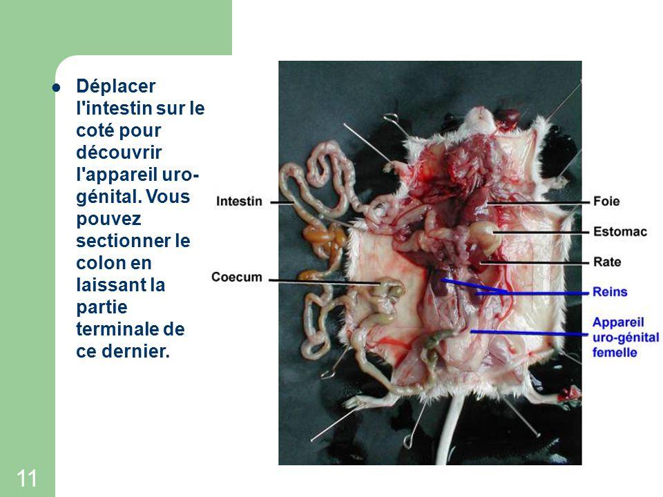 10 Déplacer l'intestin vers le haut de l'animal à l'aide d'une pince fine puis repérer le gros intestin qui se dirige vers l'anus. DEPLACEMENT DE L'IN