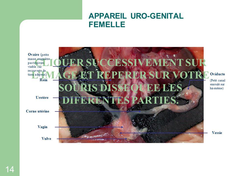 13 Appareil uro-génital mâle OBSERVATION DES APPAREILS URO-GENITAUX Appareil uro-génital femelle