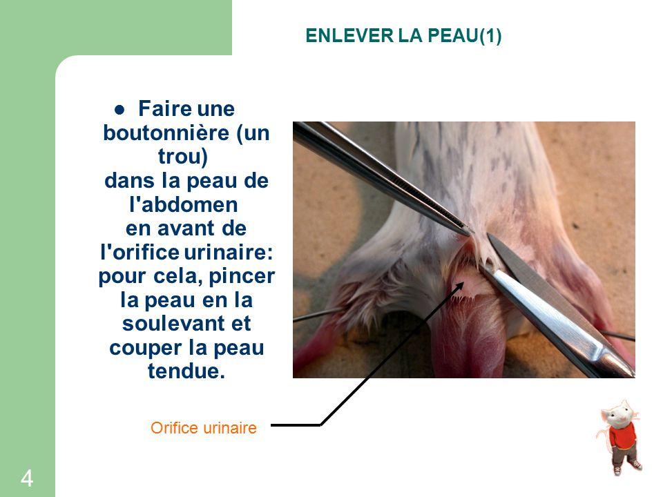 3 Fixer la souris à l'aide d'épingles appliquées obliquement à la base de chaque membre. Vérifier que le corps de la souris est bien tendue. FIXATION