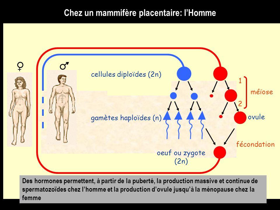 fécondation méïose 1 2 cellules diploïdes (2n) gamètes haploïdes (n) oeuf ou zygote (2n) ovule + Des hormones permettent, à partir de la puberté, la production massive et continue de spermatozoïdes chez l'homme et la production d'ovule jusqu'à la ménopause chez la femme Chez un mammifère placentaire: l'Homme