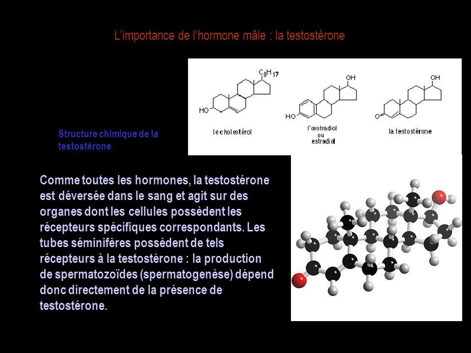 L'importance de l'hormone mâle : la testostérone Structure chimique de la testostérone Comme toutes les hormones, la testostérone est déversée dans le sang et agit sur des organes dont les cellules possèdent les récepteurs spécifiques correspondants.