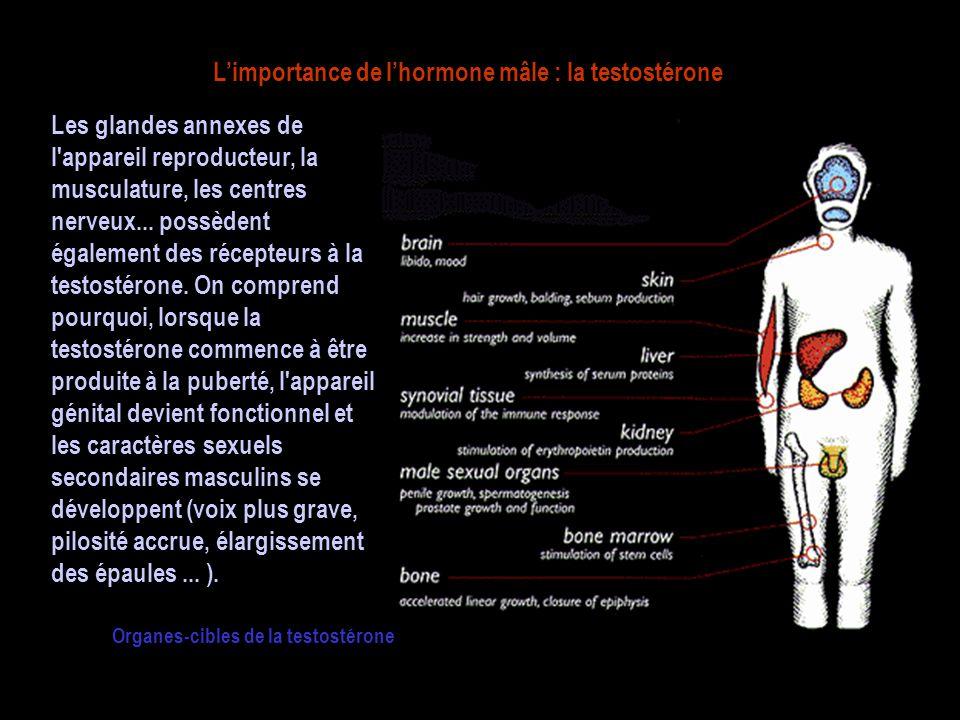 L'importance de l'hormone mâle : la testostérone Les glandes annexes de l appareil reproducteur, la musculature, les centres nerveux...