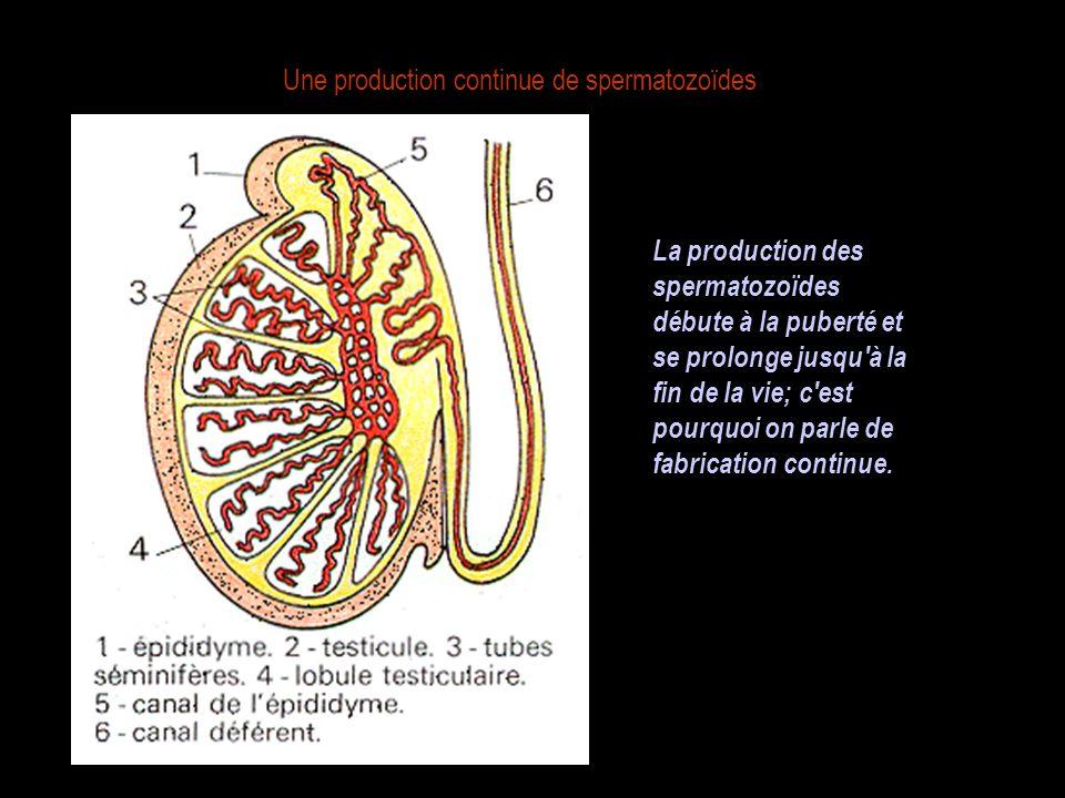 Une production continue de spermatozoïdes La production des spermatozoïdes débute à la puberté et se prolonge jusqu à la fin de la vie; c est pourquoi on parle de fabrication continue.