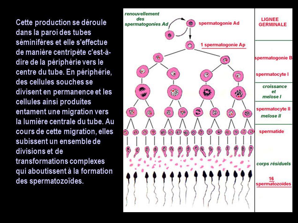 L'importance de l'hormone mâle : la testostérone Ce sont les cellules interstitielles situées entre les tubes séminifères qui assurent cette production et qui sécrètent l hormone dans le sang.