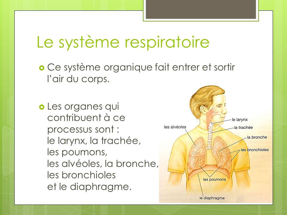 Le système respiratoire  Ce système organique fait entrer et sortir l'air du corps.  Les organes qui contribuent à ce processus sont : le larynx, la