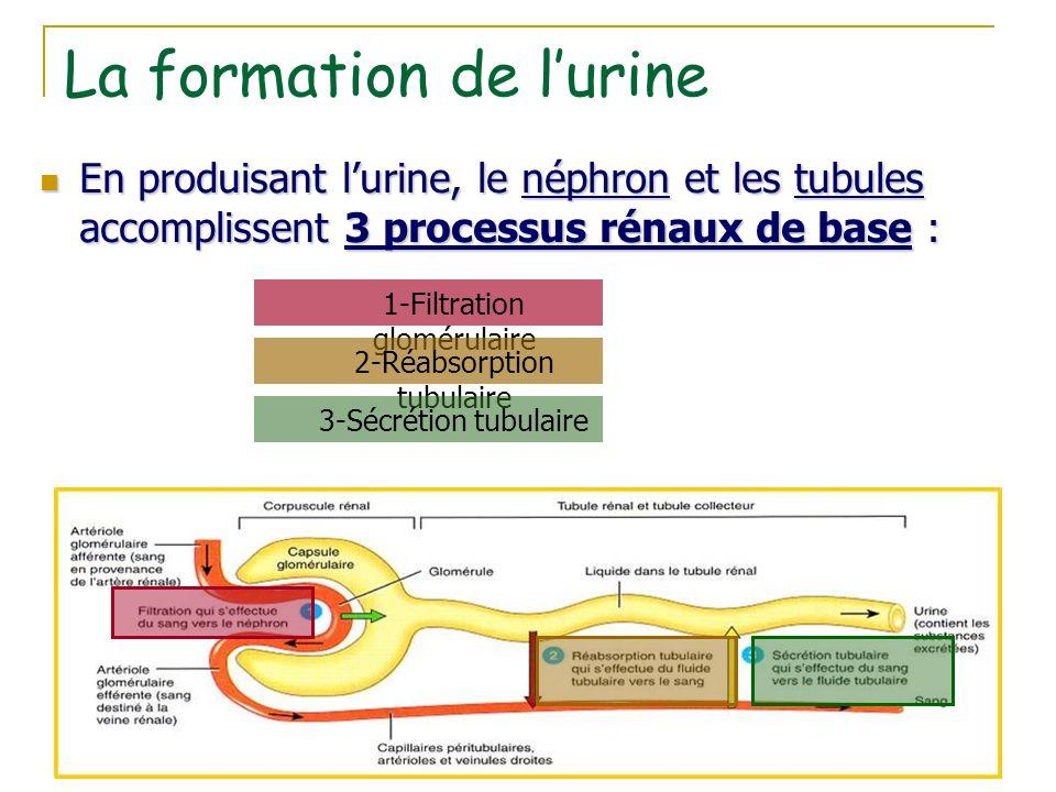 La formation de l'urine En produisant l'urine, le néphron et les tubules accomplissent 3 processus rénaux de base : En produisant l'urine, le néphron