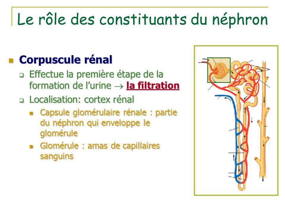 Le rôle des constituants du néphron Corpuscule rénal Corpuscule rénal  Effectue la première étape de la formation de l'urine  la filtration  Locali