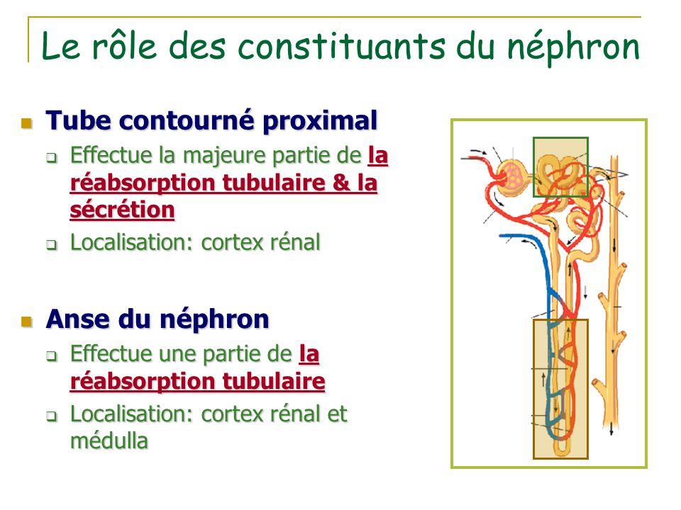 Le rôle des constituants du néphron Tube contourné proximal Tube contourné proximal  Effectue la majeure partie de la réabsorption tubulaire & la séc