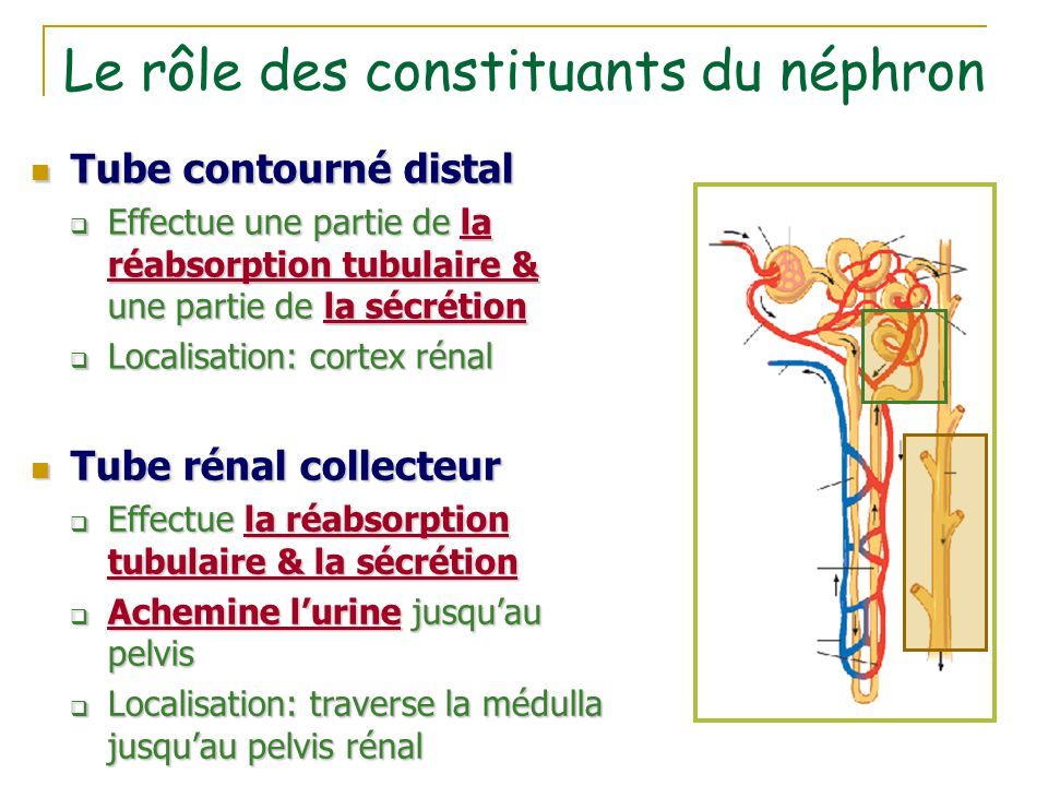 Le rôle des constituants du néphron Tube contourné distal Tube contourné distal  Effectue une partie de la réabsorption tubulaire & une partie de la