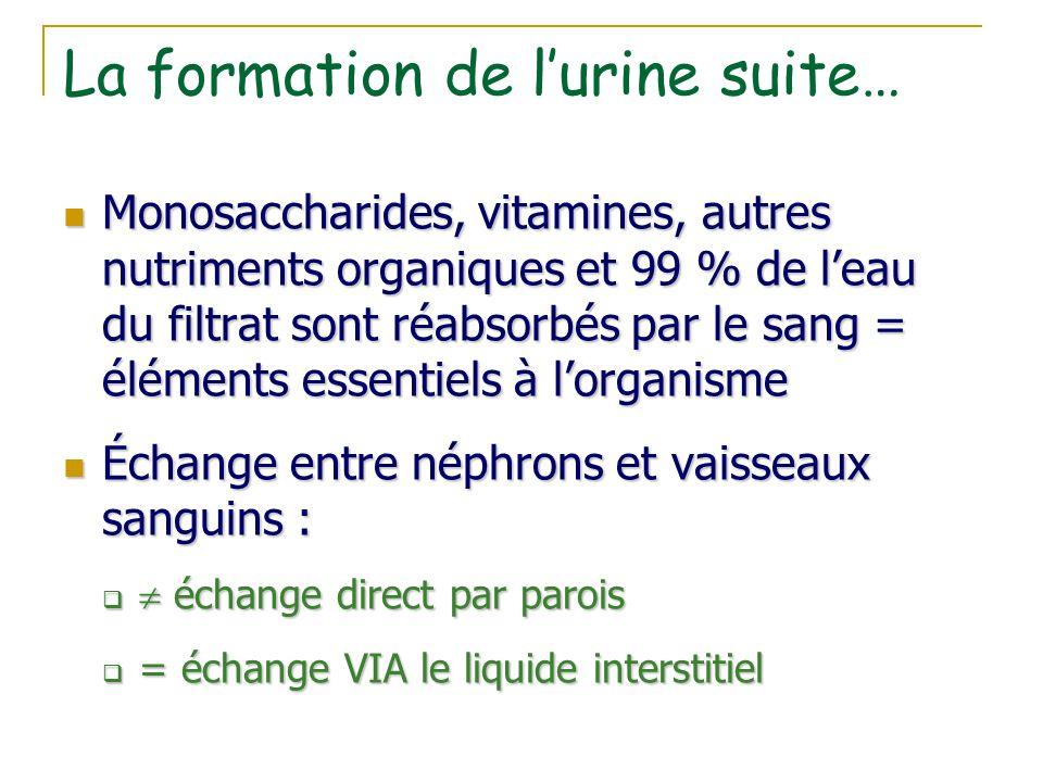 La formation de l'urine suite… Monosaccharides, vitamines, autres nutriments organiques et 99 % de l'eau du filtrat sont réabsorbés par le sang = élém