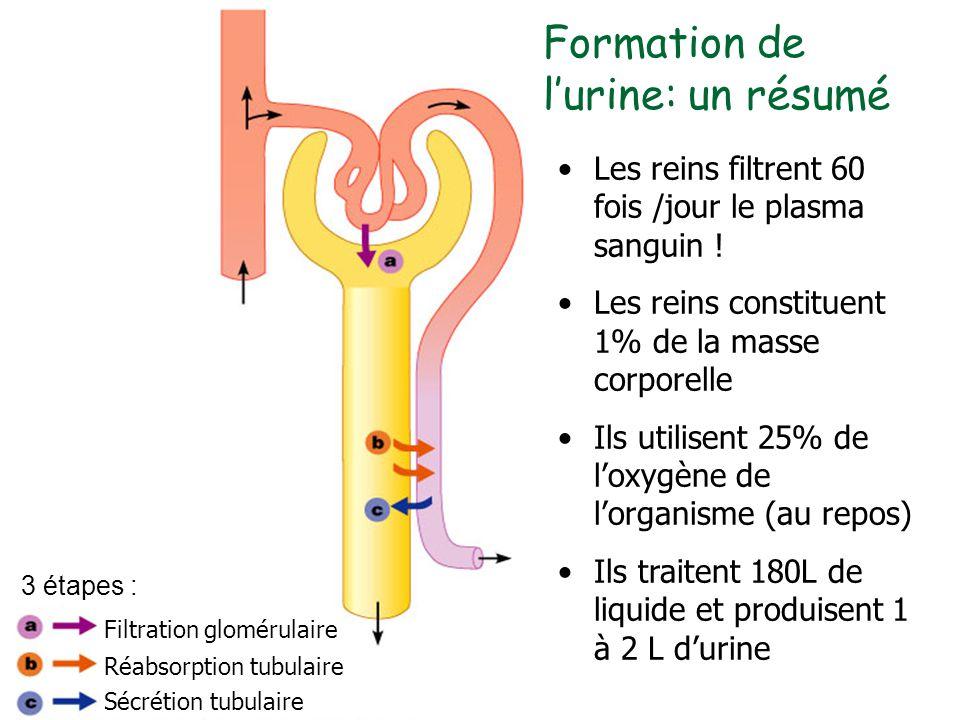 Filtration glomérulaire Réabsorption tubulaire Sécrétion tubulaire Les reins filtrent 60 fois /jour le plasma sanguin ! Les reins constituent 1% de la