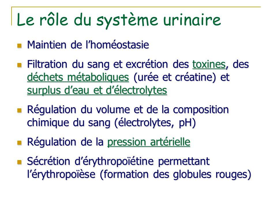 Le rôle du système urinaire Maintien de l'homéostasie Maintien de l'homéostasie Filtration du sang et excrétion des toxines, des déchets métaboliques
