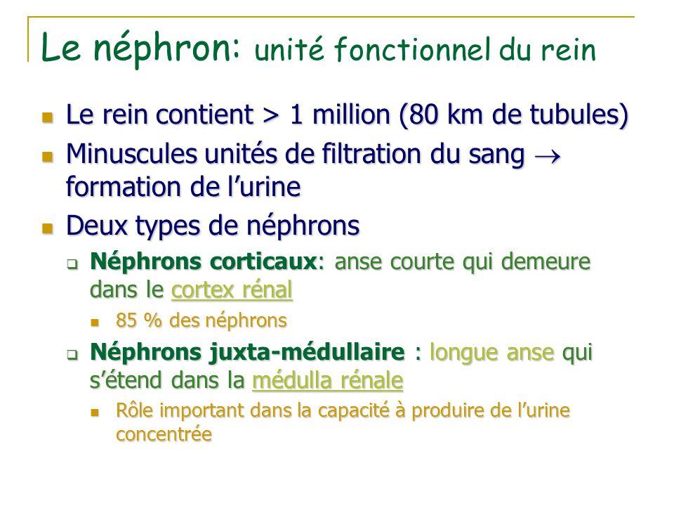 Le néphron: unité fonctionnel du rein Le rein contient > 1 million (80 km de tubules) Le rein contient > 1 million (80 km de tubules) Minuscules unité