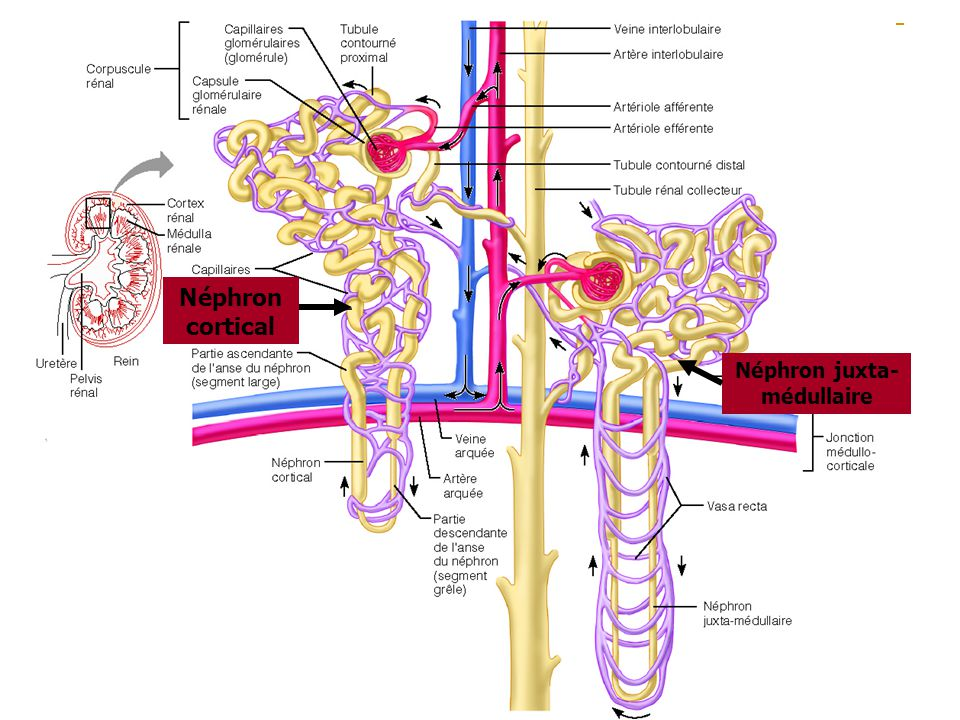 Néphron cortical Néphron juxta- médullaire