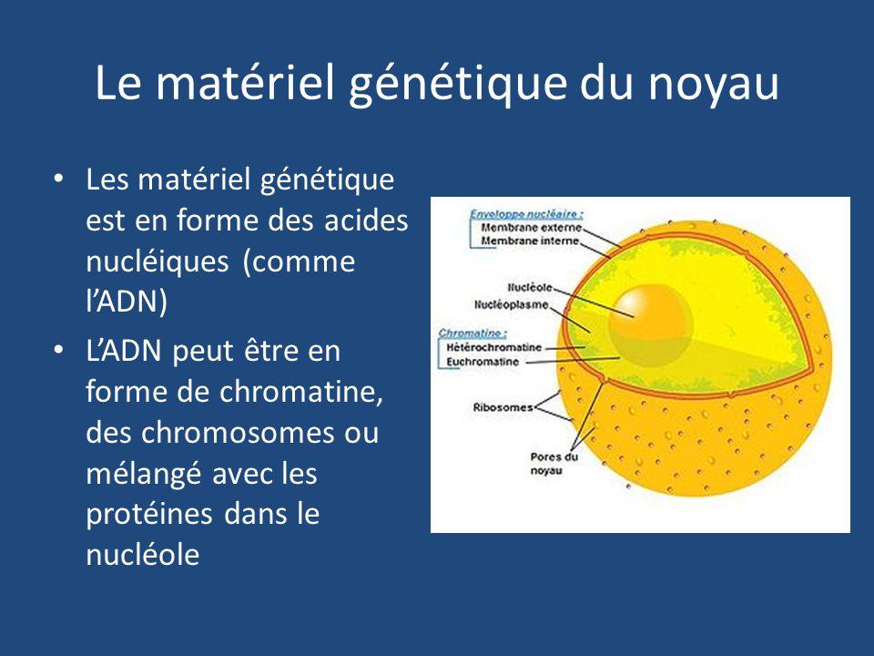 Le matériel génétique du noyau Les matériel génétique est en forme des acides nucléiques (comme l'ADN) L'ADN peut être en forme de chromatine, des chromosomes ou mélangé avec les protéines dans le nucléole