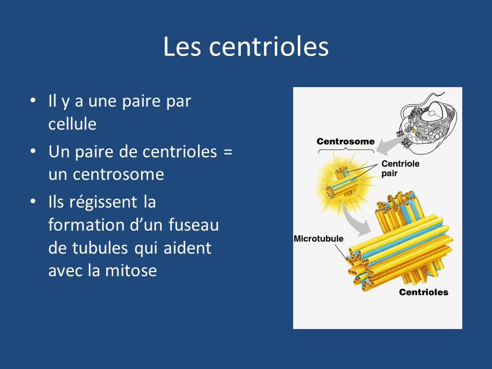 Les centrioles Il y a une paire par cellule Un paire de centrioles = un centrosome Ils régissent la formation d'un fuseau de tubules qui aident avec la mitose