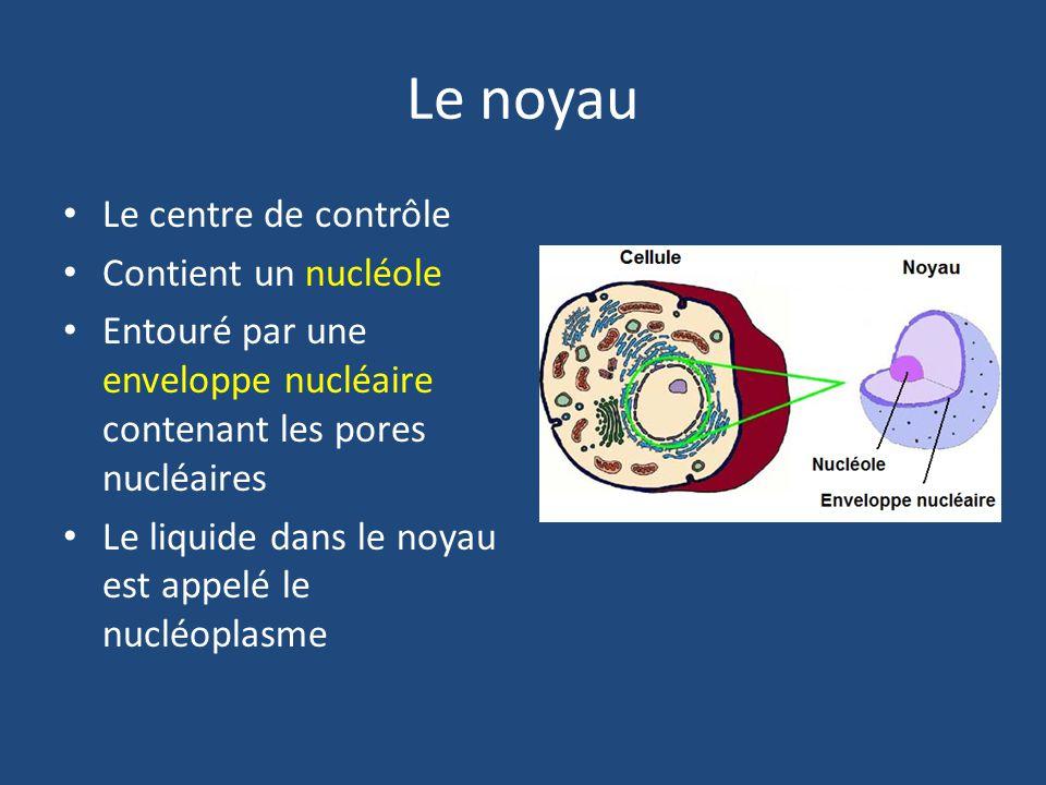 Le noyau Le centre de contrôle Contient un nucléole Entouré par une enveloppe nucléaire contenant les pores nucléaires Le liquide dans le noyau est appelé le nucléoplasme