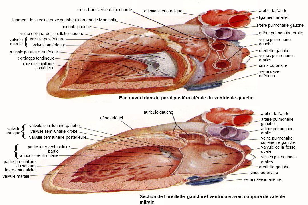 10Anatomie du système cardiovasculaire réflexion péricardique sinus transverse du péricarde ligament de la veine cave gauche (ligament de Marshall) auricule gauche veine oblique de l'oreillette gauche valvule mitrale { valvule postérieure valvule antérieure muscle papillaire antérieur cordages tendineux muscle papillaire postérieur auricule gauche cône artériel valvule semilunaire droite { valvule mitrale Pan ouvert dans la paroi postérolatérale du ventricule gauche Section de l'oreillette gauche et ventricule avec coupure de valvule mitrale arche de l'aorte ligament artériel artère pulmonaire droite veine pulmonaire gauche oreillette gauche veines pulmonaires droites sinus coronaire veine cave inférieure arche de l'aorte artère pulmonaire gauche artère pulmonaire droite veine pulmonaire supérieure gauche valvule de la fosse ovale veines pulmonaires droites oreillette gauche sinus coronaire valvule aortique { valvule semilunaire gauche valvule semilunaire postérieure partie auriculo-ventriculaire partie musculaire du septum interventriculaire veine cave inférieure partie interventriculaire artère pulmonaire gauche