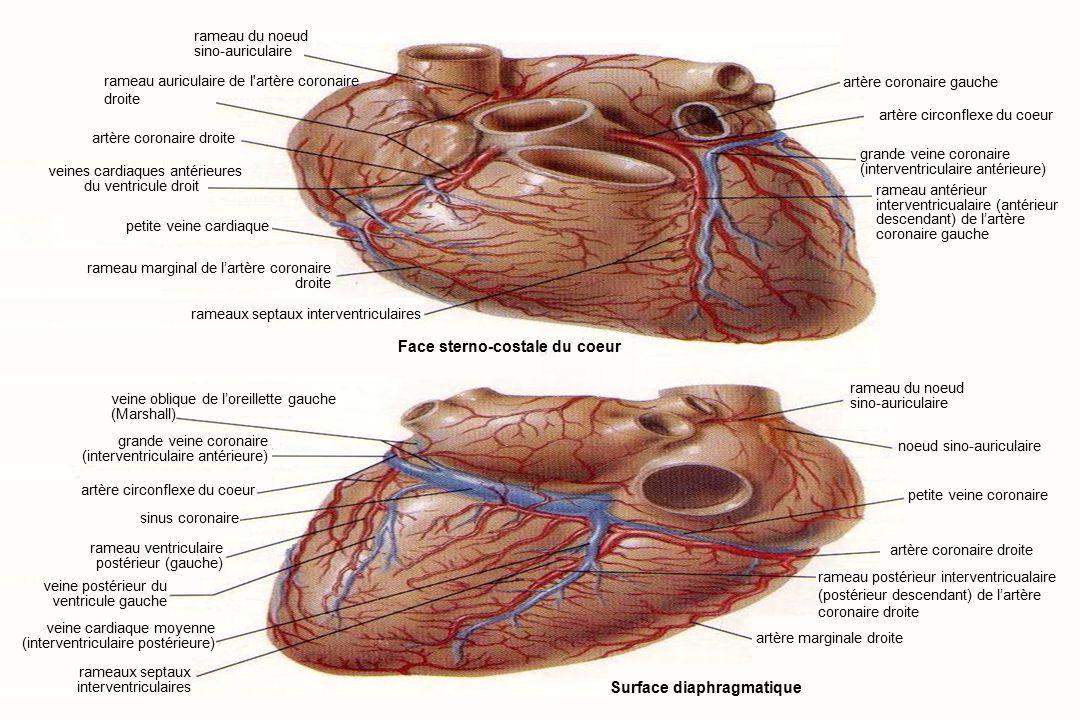 13Anatomie du système cardiovasculaire Surface diaphragmatique Face sterno-costale du coeur petite veine cardiaque rameau marginal de l'artère coronaire droite rameaux septaux interventriculaires veines cardiaques antérieures du ventricule droit veine oblique de l'oreillette gauche (Marshall) sinus coronaire rameau ventriculaire postérieur (gauche) veine cardiaque moyenne (interventriculaire postérieure) rameaux septaux interventriculaires rameau du noeud sino-auriculaire noeud sino-auriculaire petite veine coronaire artère coronaire droite artère marginale droite artère coronaire gauche rameau antérieur interventricualaire (antérieur descendant) de l'artère coronaire gauche grande veine coronaire (interventriculaire antérieure) rameau postérieur interventricualaire (postérieur descendant) de l'artère coronaire droite artère circonflexe du coeur grande veine coronaire (interventriculaire antérieure) veine postérieur du ventricule gauche artère coronaire droite rameau du noeud sino-auriculaire artère circonflexe du coeur rameau auriculaire de l artère coronaire droite