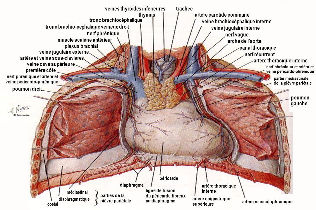 5Anatomie du système cardiovasculaire veines thyroides inférieures thymus tronc brachiocéphalique tronc brachio-céphalique veineux droit nerf phrénique muscle scalène antérieur plexus brachial veine jugulaire externe artère et veine sous-clavières veine cave supérieure première côte nerf phrénique et artère et veine péricardo-phrénique poumon droit trachée artère carotide commune veine brachiocéphalique interne veine jugulaire interne nerf vague arche de l'aorte canal thoracique nerf récurrent artère thoracique interne partie médiastinale de la plèvre pariétale poumon gauche nerf phrénique et artère et veine péricardo-phrénique péricarde artère thoracique interne parties de la pièvre pariétale diaphragme diaphragmatique médiastinal costal artère épigastrique supérieure artère musculophrénique ligne de fusion du péricarde fibreux au diaphragme