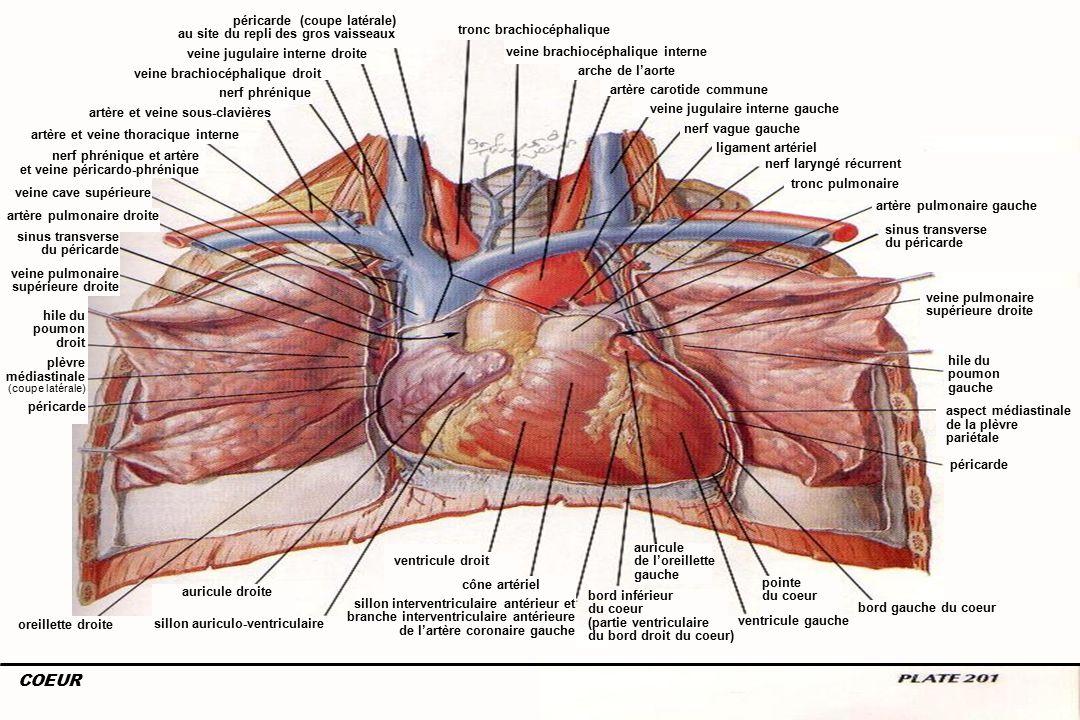 6Anatomie du système cardiovasculaire auricule droite sillon auriculo-ventriculaire oreillette droite ventricule droit cône artériel sillon interventriculaire antérieur et branche interventriculaire antérieure de l'artère coronaire gauche pointe du coeur ventricule gauche bord gauche du coeur bord inférieur du coeur (partie ventriculaire du bord droit du coeur) sinus transverse du péricarde veine pulmonaire supérieure droite hile du poumon gauche péricarde sinus transverse du péricarde veine pulmonaire supérieure droite nerf phrénique auricule de l'oreillette gauche tronc brachiocéphalique veine brachiocéphalique interne arche de l'aorte nerf vague gauche tronc pulmonaire artère carotide commune artère pulmonaire gauche veine brachiocéphalique droit artère et veine sous-clavières artère et veine thoracique interne veine cave supérieure nerf phrénique et artère et veine péricardo-phrénique artère pulmonaire droite veine jugulaire interne gauche hile du poumon droit péricarde plèvre médiastinale (coupe latérale) ligament artériel nerf laryngé récurrent aspect médiastinale de la plèvre pariétale COEUR veine jugulaire interne droite péricarde (coupe latérale) au site du repli des gros vaisseaux