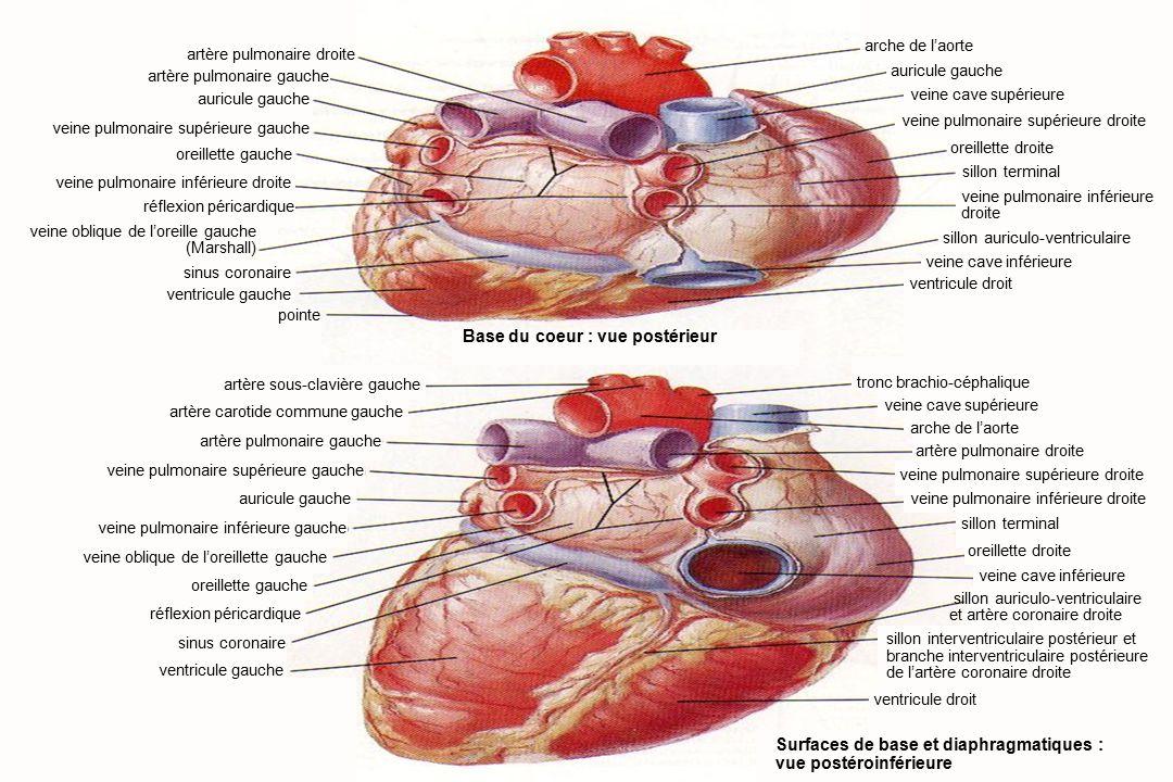 8Anatomie du système cardiovasculaire artère pulmonaire droite artère pulmonaire gauche auricule gauche veine pulmonaire supérieure gauche oreillette gauche veine pulmonaire inférieure droite réflexion péricardique veine oblique de l'oreille gauche (Marshall) sinus coronaire ventricule gauche pointe artère sous-clavière gauche artère carotide commune gauche artère pulmonaire gauche veine pulmonaire supérieure gauche auricule gauche veine pulmonaire inférieure gauche veine oblique de l'oreillette gauche oreillette gauche réflexion péricardique sinus coronaire ventricule gauche arche de l'aorte auricule gauche veine cave supérieure veine pulmonaire supérieure droite oreillette droite sillon terminal veine pulmonaire inférieure droite sillon auriculo-ventriculaire ventricule droit Surfaces de base et diaphragmatiques : vue postéroinférieure tronc brachio-céphalique veine cave supérieure arche de l'aorte artère pulmonaire droite veine pulmonaire supérieure droite veine pulmonaire inférieure droite sillon terminal oreillette droite veine cave inférieure ventricule droit Base du coeur : vue postérieur sillon auriculo-ventriculaire et artère coronaire droite sillon interventriculaire postérieur et branche interventriculaire postérieure de l'artère coronaire droite veine cave inférieure