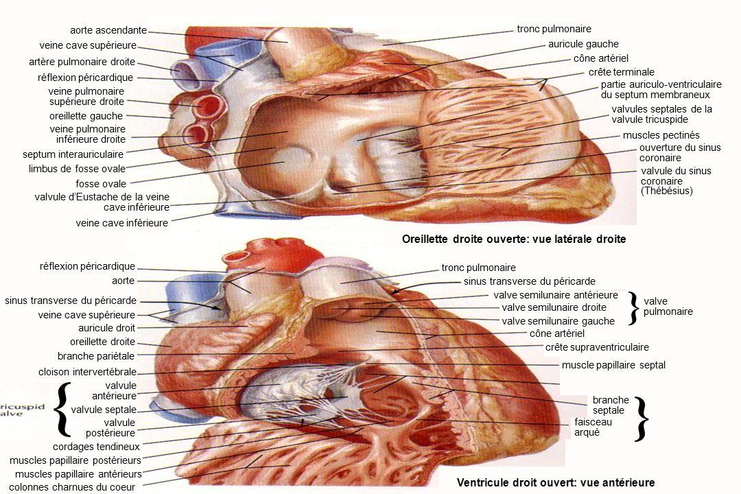 9Anatomie du système cardiovasculaire aorte ascendante réflexion péricardique veine pulmonaire supérieure droite oreillette gauche veine pulmonaire inférieure droite septum interauriculaire limbus de fosse ovale fosse ovale valvule d'Eustache de la veine cave inférieure veine cave inférieure réflexion péricardique aorte sinus transverse du péricarde veine cave supérieure auricule droit oreillette droite branche pariétale cordages tendineux muscles papillaire antérieurs muscles papillaire postérieurs colonnes charnues du coeur Oreillette droite ouverte: vue latérale droite tronc pulmonaire auricule gauche cône artériel crête terminale partie auriculo-ventriculaire du septum membraneux valvules septales de la valvule tricuspide muscles pectinés ouverture du sinus coronaire valvule du sinus coronaire (Thébésius) tronc pulmonaire valve semilunaire droite muscle papillaire septal Ventricule droit ouvert: vue antérieure valve pulmonaire sinus transverse du péricarde valve semilunaire antérieure cône artériel crête supraventriculaire } branche septale faisceau arqué } cloison intervertébrale valvule antérieure valvule postérieure { valvule septale veine cave supérieure artère pulmonaire droite valve semilunaire gauche