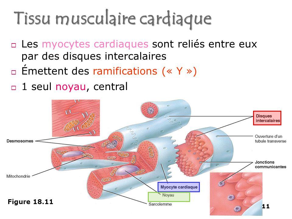 Tissu musculaire cardiaque - Squelette et Muscles - 11  Les myocytes cardiaques sont reliés entre eux par des disques intercalaires  Émettent des ramifications (« Y »)  1 seul noyau, centra l Figure 18.11 11