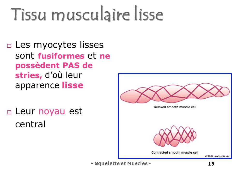 Tissu musculaire lisse  Les myocytes lisses sont fusiformes et ne possèdent PAS de stries, d'où leur apparence lisse  Leur noyau est central - Squelette et Muscles - 13