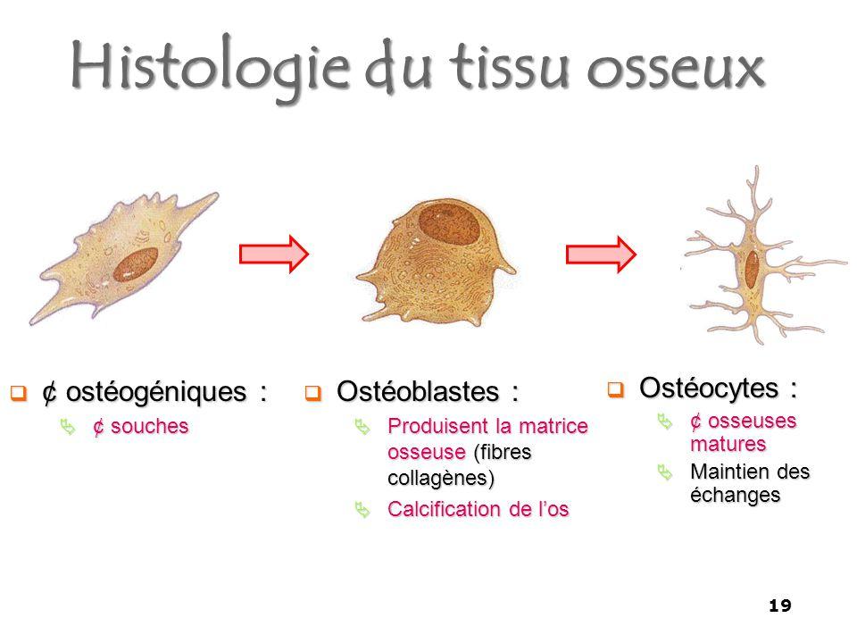 Histologie du tissu osseux  ¢ ostéogéniques :  ¢ souches  Ostéoblastes :  Produisent la matrice osseuse (fibres collagènes)  Calcification de l'os  Ostéocytes :  ¢ osseuses matures  Maintien des échanges 19