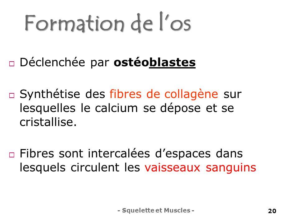 Formation de l'os  Déclenchée par ostéoblastes  Synthétise des fibres de collagène sur lesquelles le calcium se dépose et se cristallise.