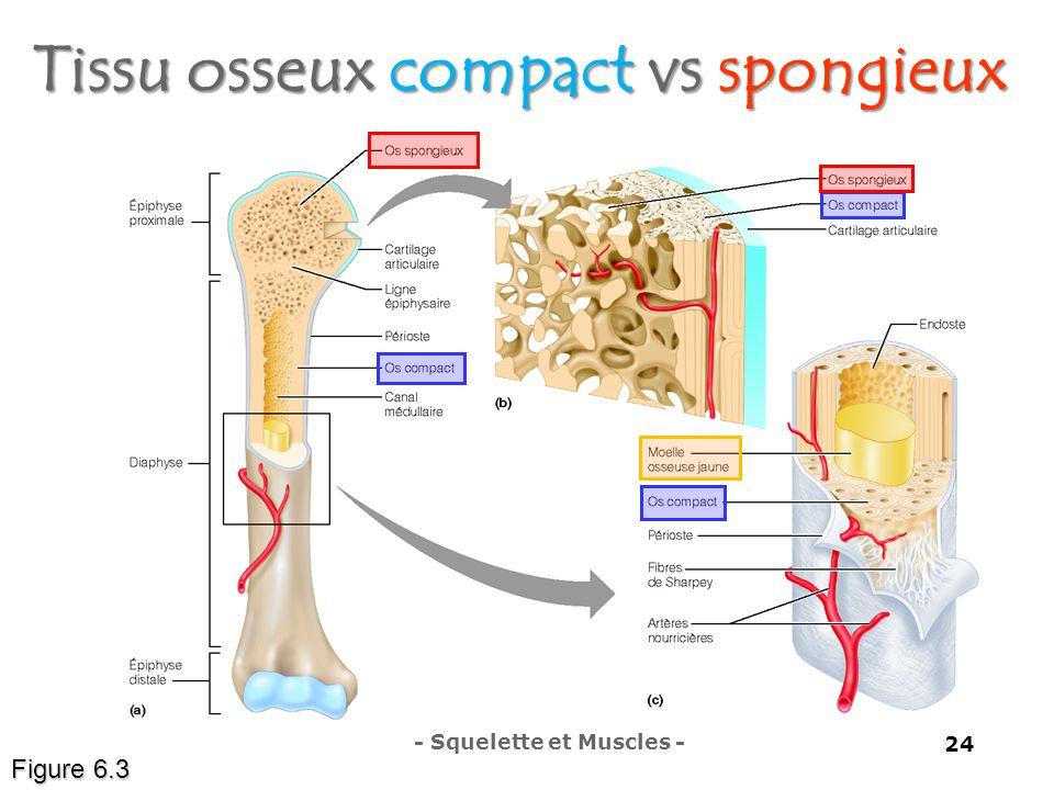 Tissu osseux compact vs spongieux Figure 6.3 - Squelette et Muscles - 24