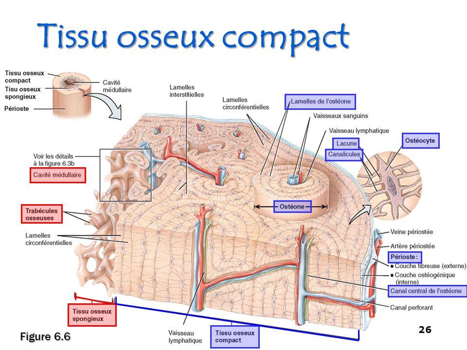 Tissu osseux compact - Squelette et Muscles - 26 Figure 6.6 26
