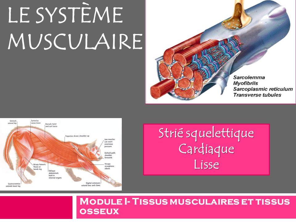 Module I- Tissus musculaires et tissus osseux LE SYSTÈME MUSCULAIRE Strié squelettique CardiaqueLisse