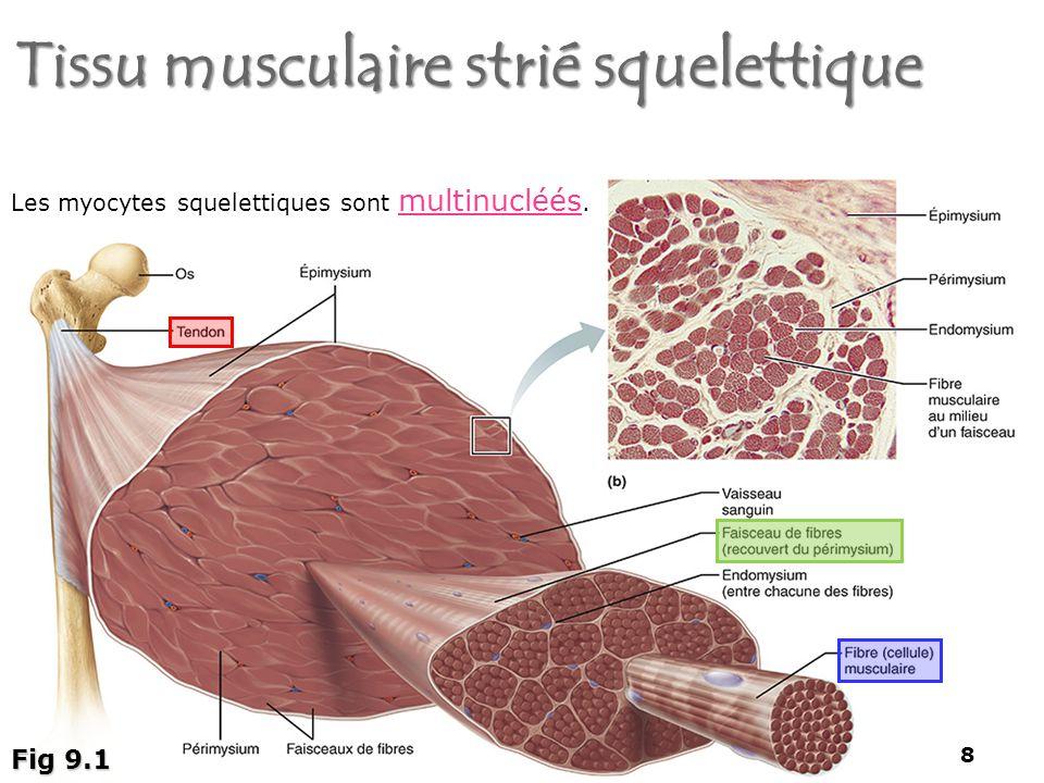Tissu musculaire strié squelettique 8 Fig 9.1 Les myocytes squelettiques sont multinucléés. 8
