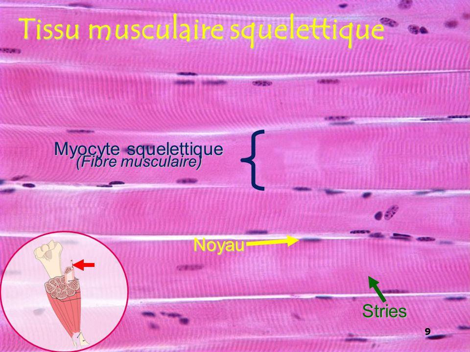 9 Tissu musculaire squelettique Noyau Stries Myocyte squelettique (Fibre musculaire) 9
